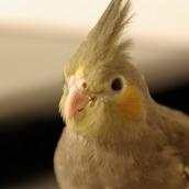 cinnamonbird