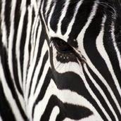 zebrasta