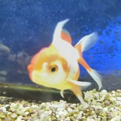 金魚888